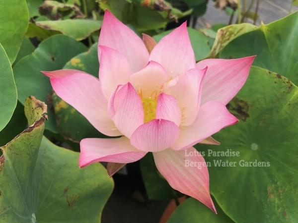 Pink of Chuan Tai 13