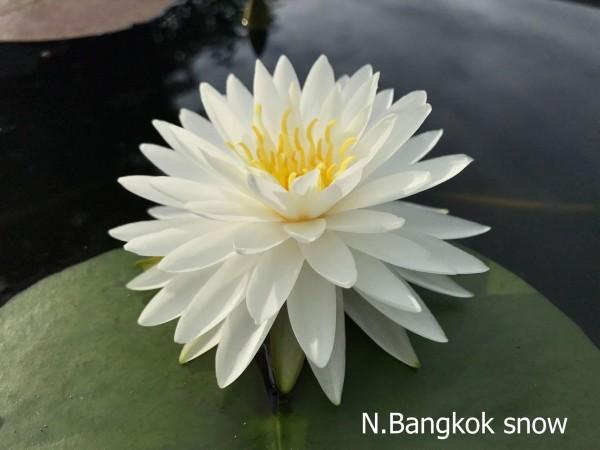 Bangkok Snow