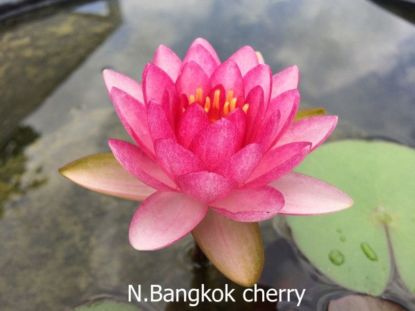 Bangkok Cherry