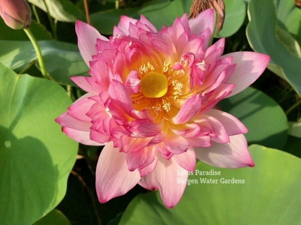Beauty Hibiscus