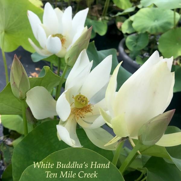 White Buddhas Hand