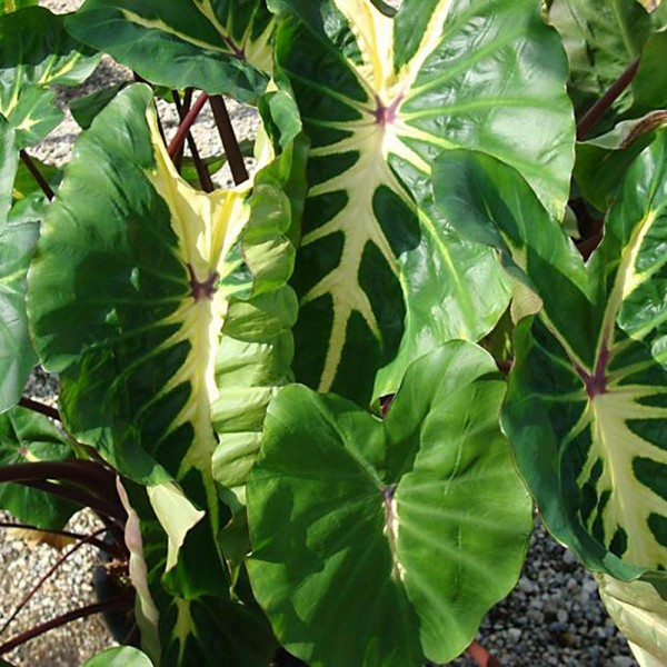Colocasia White Lava
