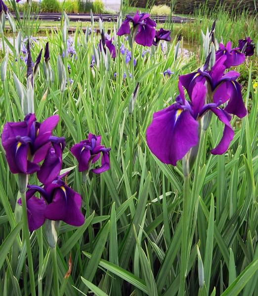 Iris kaempferi blau