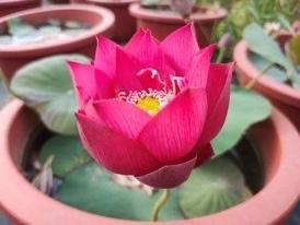 Gorgeous Rosy - Bowl - My Favourite
