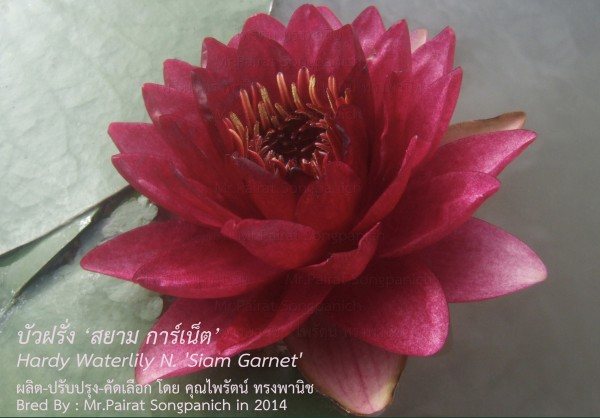 Siam Garnet