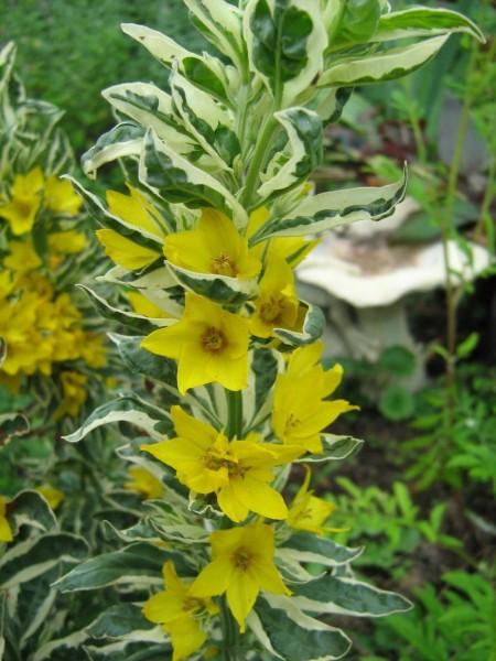 Lysimachia variegata