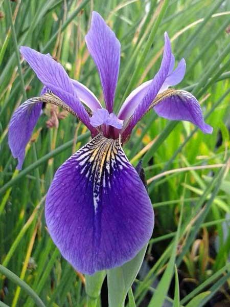 Iris versicolor blau