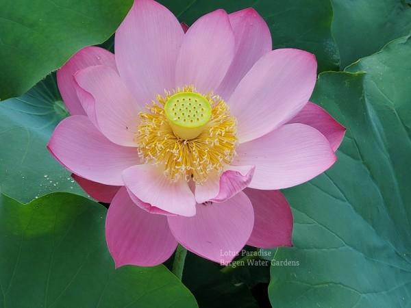Yizhou Red Lotus
