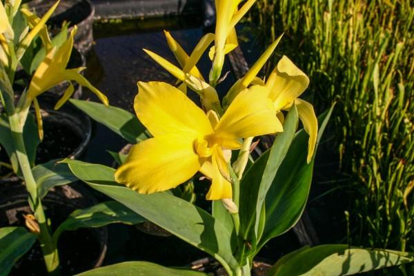 Canna 'RA' - Yellow