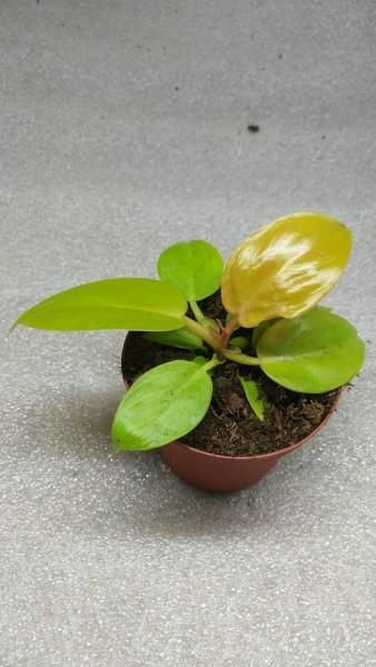 Philodendron Melinonii Aurea - Jungpflanzen