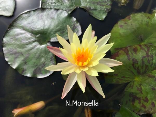 Monsella