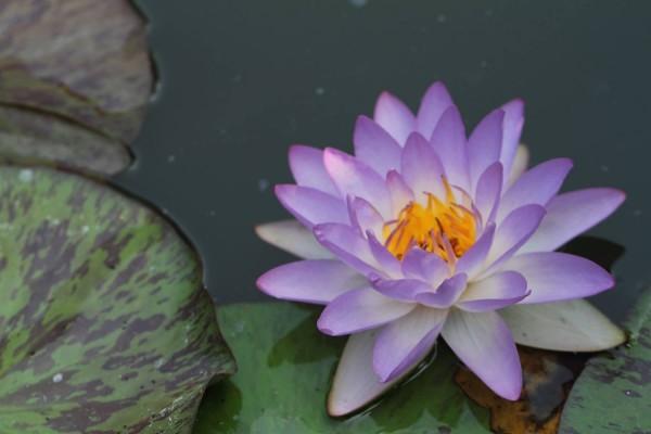 Siam Purple 1