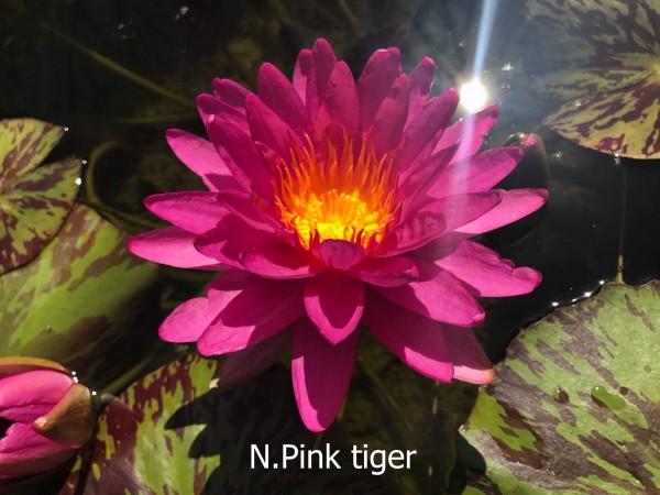 Bangkok Pink Tiger
