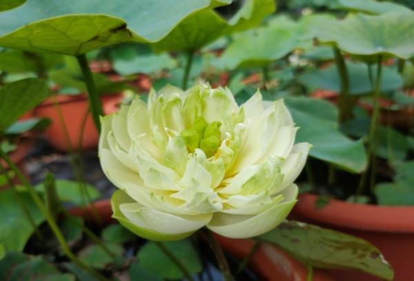 Full White Jade - New!