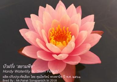 Siam Peach