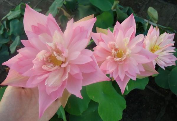 Lanceolate Pink