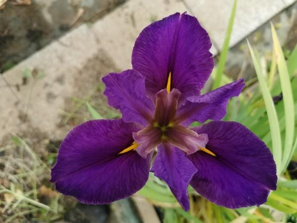 Iris Pegaletta