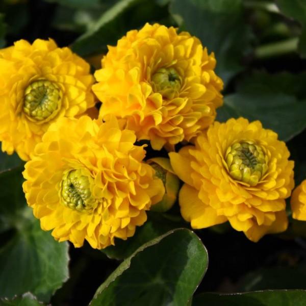 """Caltha palustris """"Multiplex"""""""