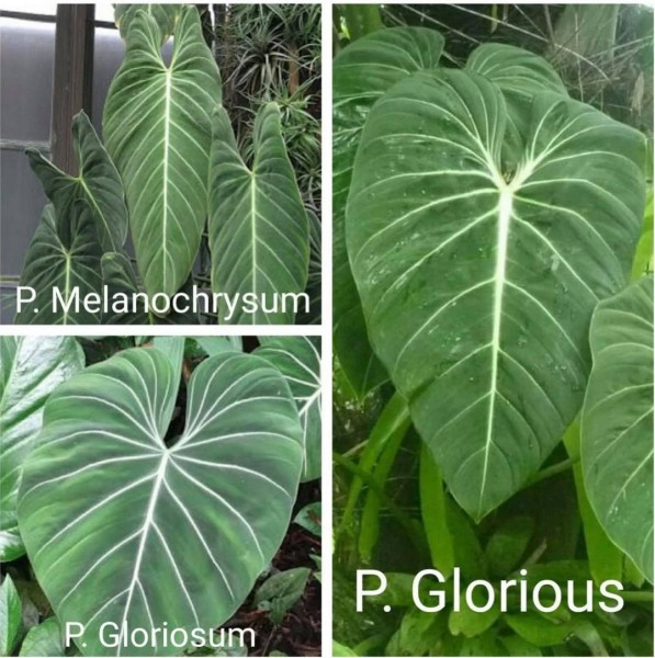 Philodendron glorious