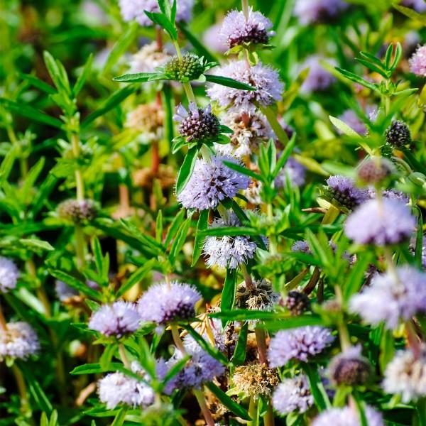 Preslia cervina violett