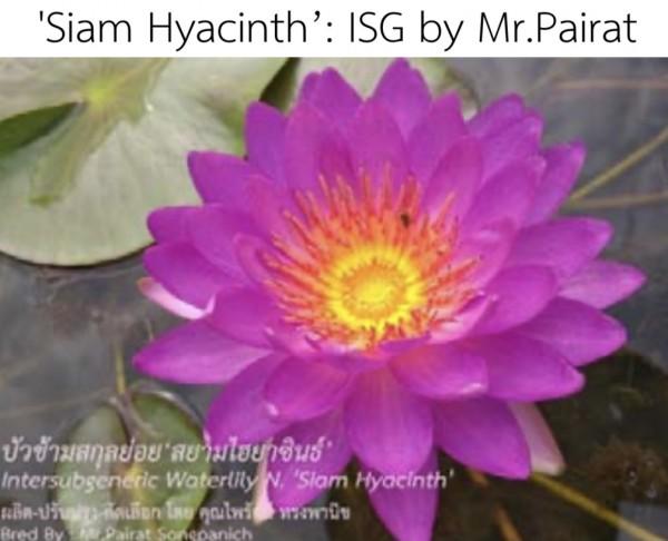 Siam Hyacinth