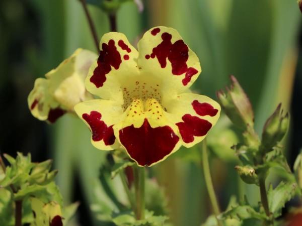 Mimulus luteus Grandiflora