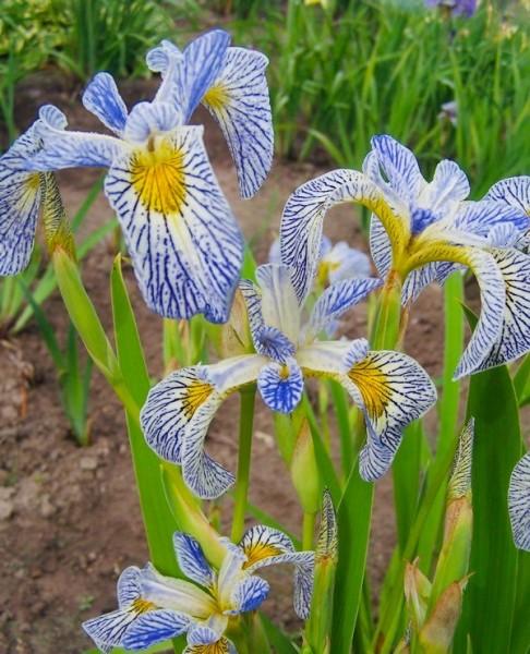 Iris 'Roys Repeater'