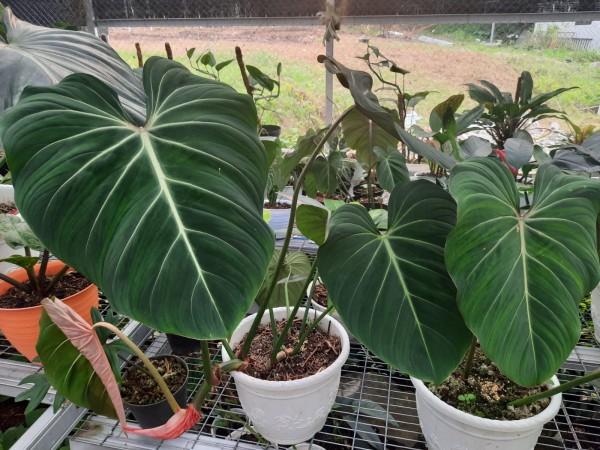 Philodendron Gloriosum - Giant