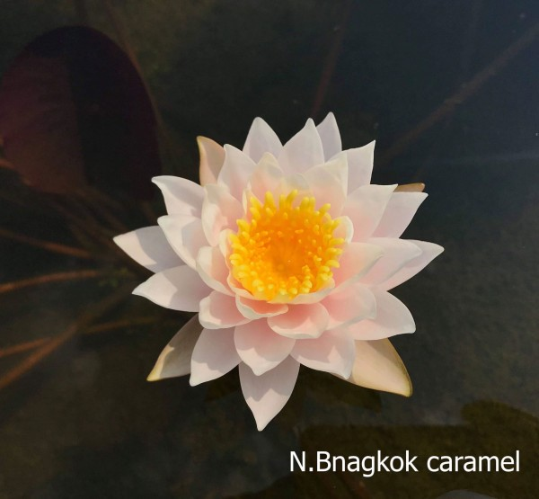 Bangkok Caramel