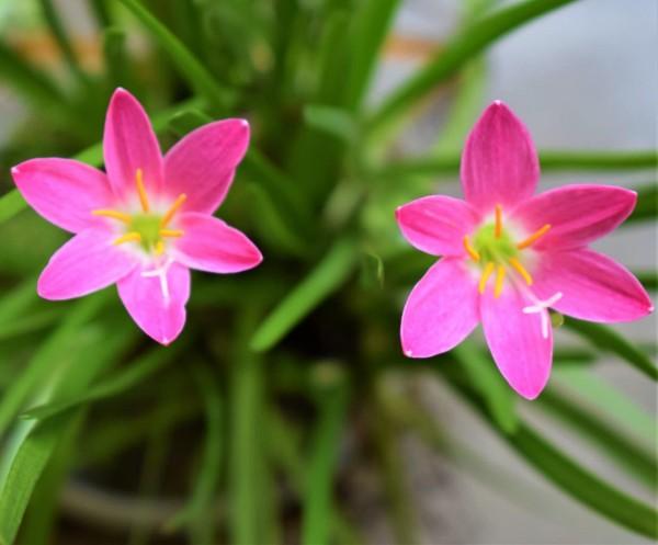 """Zephyranthes candida """"rosa"""""""