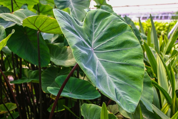 Colocasia Violet Stem