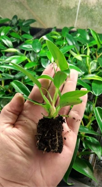 Philodendron Florida beauty Green - Jungpflanze