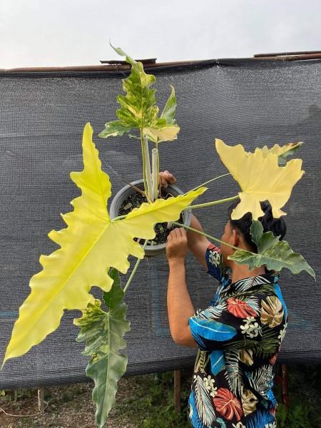 Philodendron williamsii variegata Hybrid
