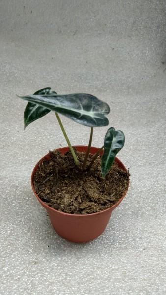 Alocasia dwarf Amazonica