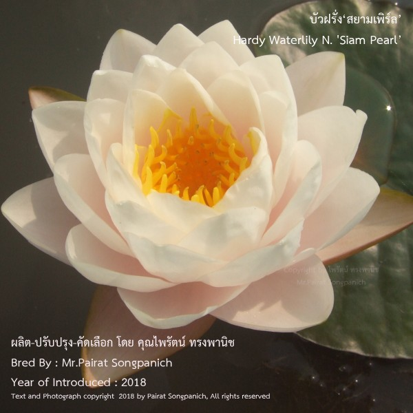 Siam Pearl