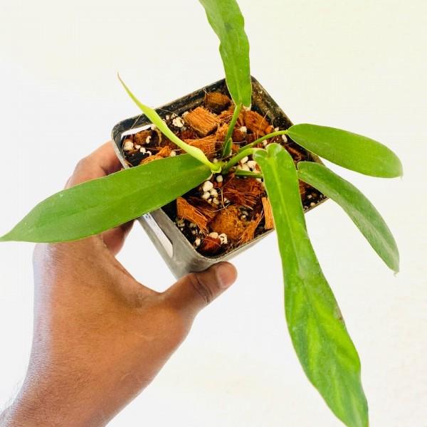 Philodendron Joepii - JP1