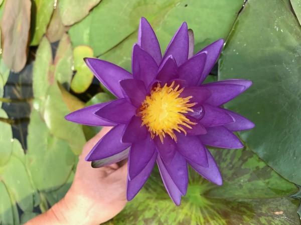 Purple Cone