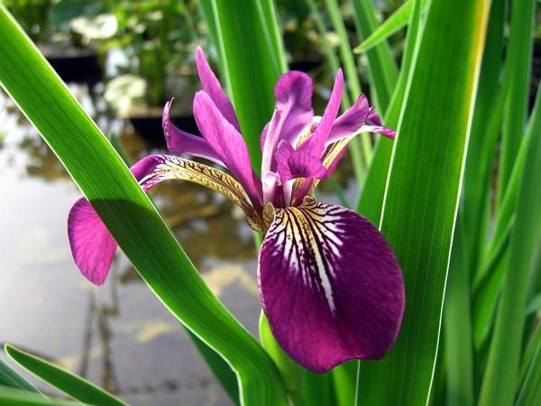 "Iris versicolor ""Kermesina"" rot"