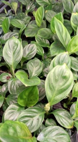 Spathiphyllum sp. - Jungpflanzen
