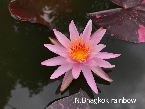 Bangkok Rainbow