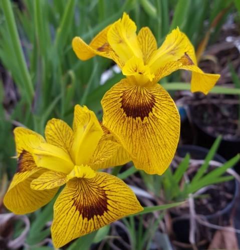 Iris pseudoacorus 'Roy Davidson'