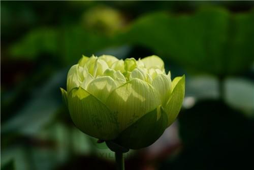 Shicheng Jade