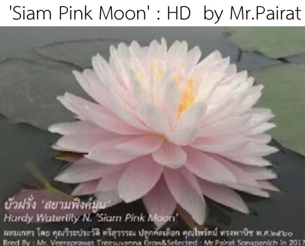 Siam Pink Moon