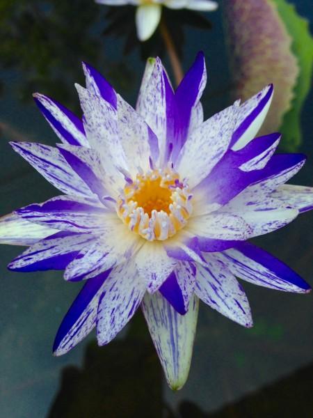 Suwanna Purple